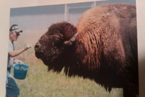 Nebraska farm-raised bison