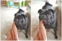 Pug dogtography by Stacy Ideus