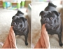 Pug dogtography by StacyIdeus
