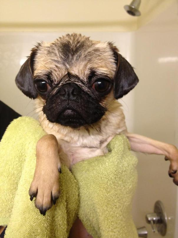 Wet pug after a bath
