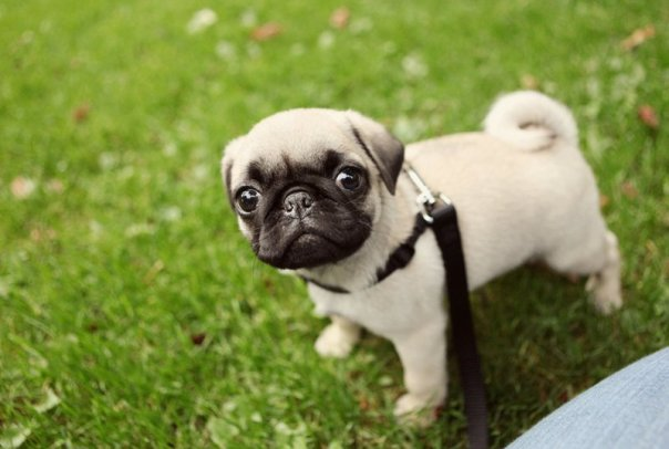 Pearl the pug in the grass
