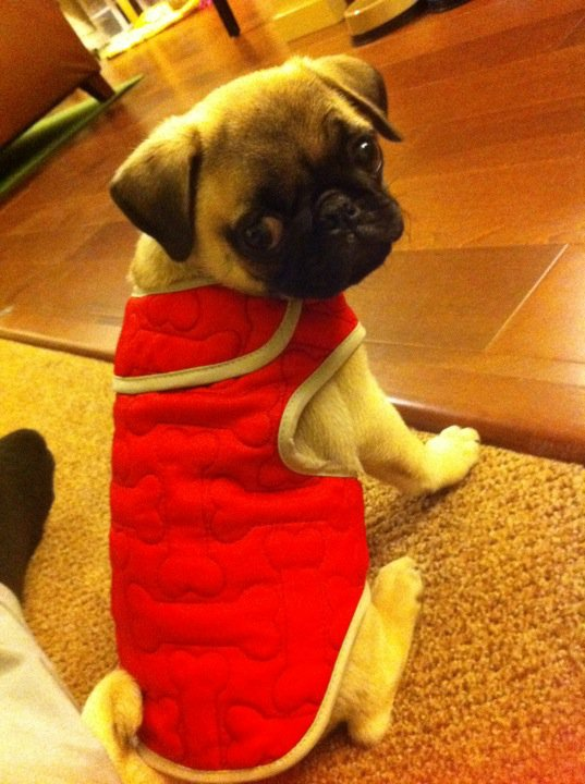 A pug in clothes