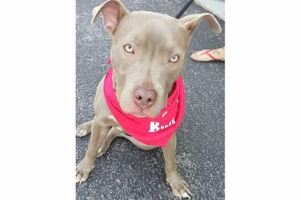 blue american pit bull terrier