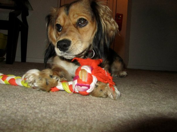 Charlie with a chew toy