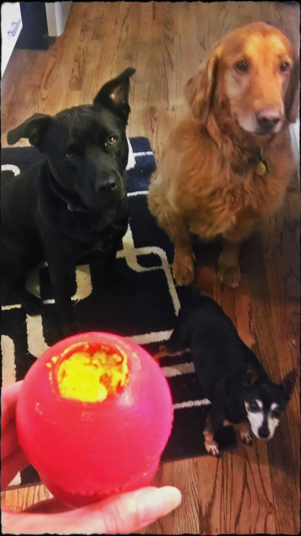 A pit bull mix, golden retriever and a miniature pinscher lust after a Kong toy stuffed with sweet potatoes, peanut butter, oatmeal and cinnamon.