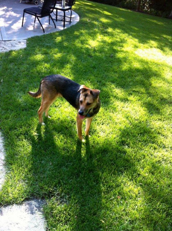 german shepherd mix in green grass