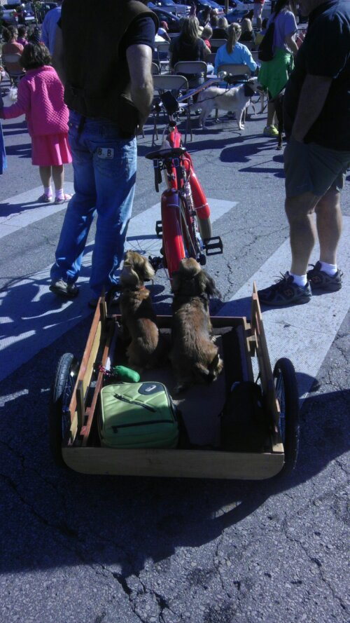 dachshunds on a bike trailer
