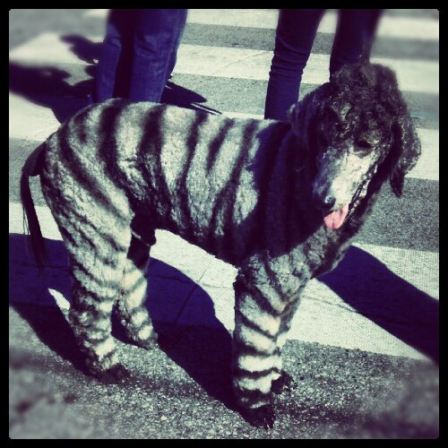 Poodle with zebra stripes