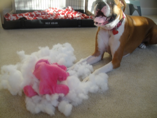 boxer with a destroyed toy