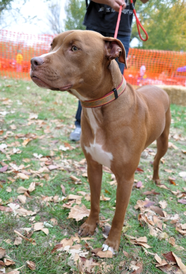 adoptable pit bull in kansas city