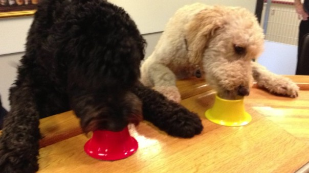 a Whoodle and a Labradoodle eating Pet Pops