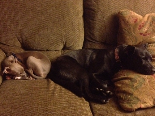 italian greyhound and black mix dog