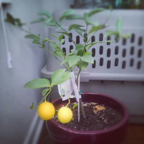homegrown meyer lemons