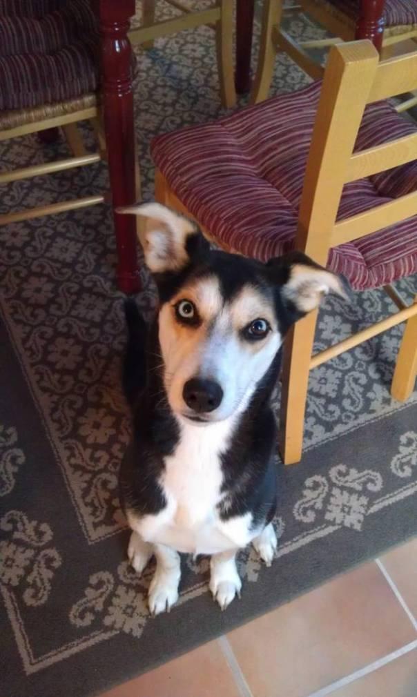 beagle husky mix