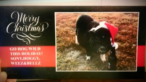 holiday card from a pig