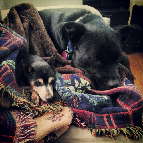 miniature pinscher and black lab mix snuggle