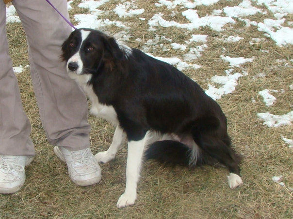 Faith border collie