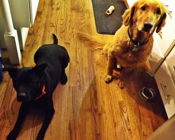 golden retriever and black lab mix begging