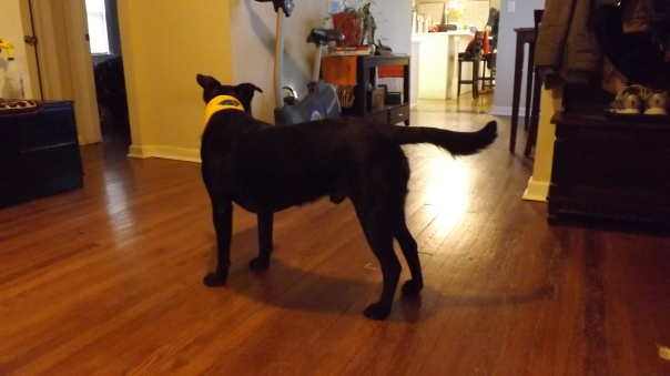 black lab mix standing