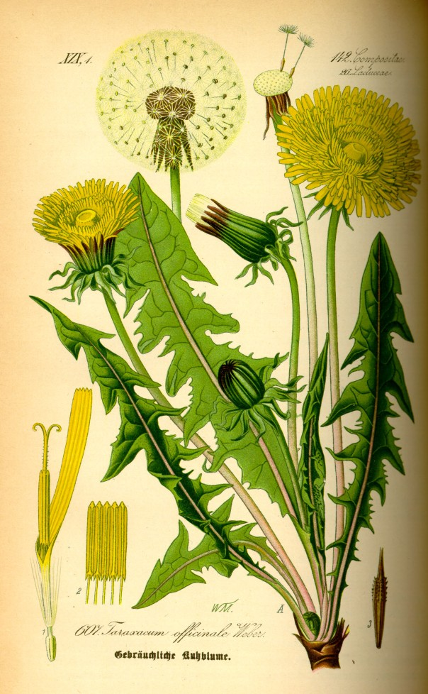 Taraxacum officinale dandelion