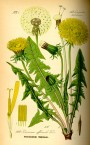 What To Do with Dandelions