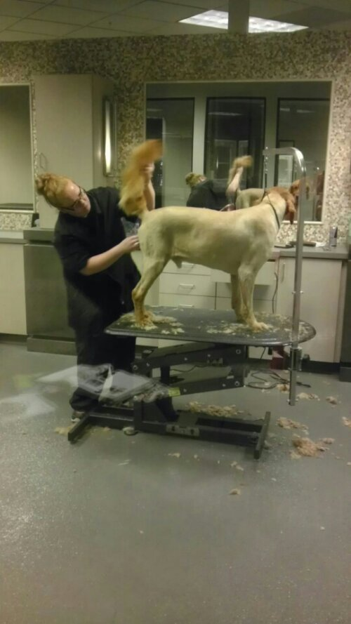 golden retriever gets a buzzcut