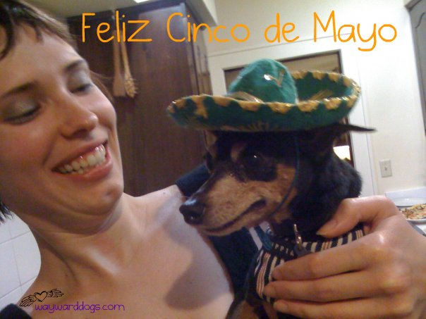 miniature pinscher in a sombrero cinco de mayo